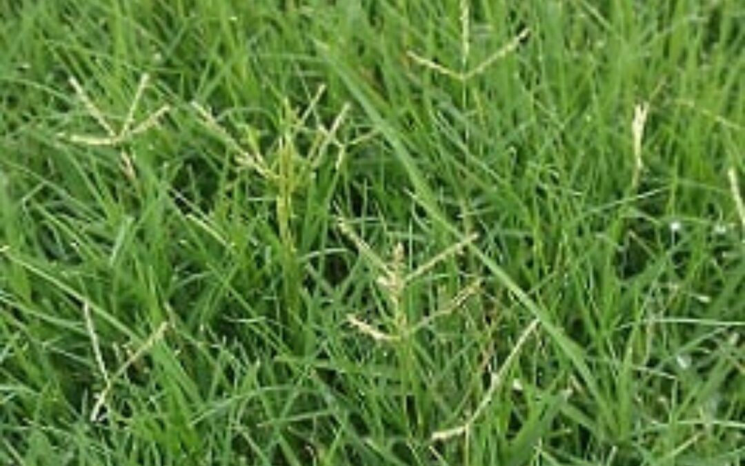 When to Scalp Your Lawn